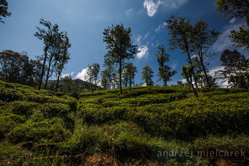 Plantacje herbaty w drodze do Nuvara Eliya
