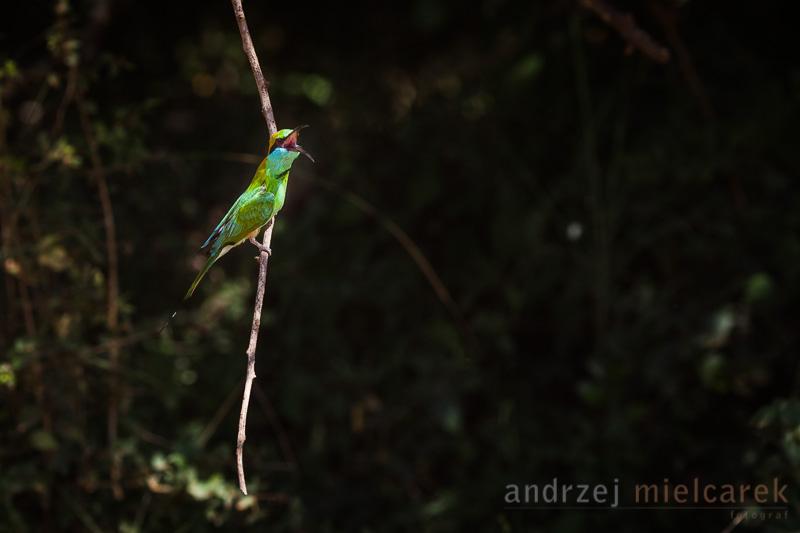 Żołna wschodnia (Merops orientalis)