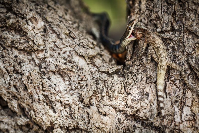 Wąż pożera jaszczurkę